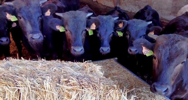 Añojos de Wagyu Ibérico en la Finca El Campete, en la localidad cacereña de Santibáñez el Alto