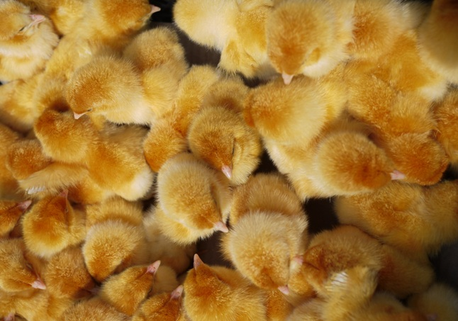 chickens-773566