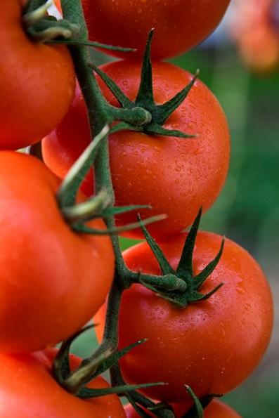 tomate-semillas-fito