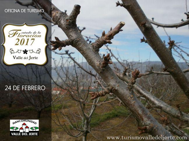 estado-floracion-valle-del-jerte-24febrero