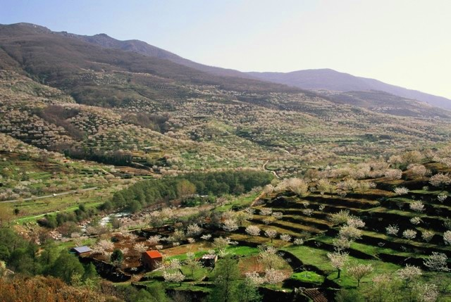 Panorámica de cerezos del Valle del Jerte © DO Cereza del Jerte