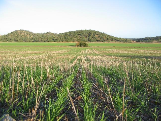 Agricultura de conservación en cereal
