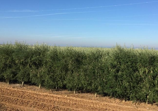olivenza intensivo