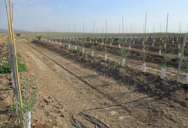 en 2017 crecía el olivar en Extremadura a un ritmo de 10 ha por día