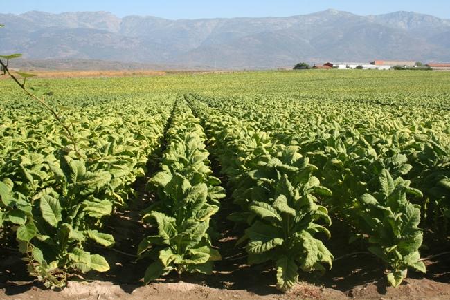 18 tabaco campo