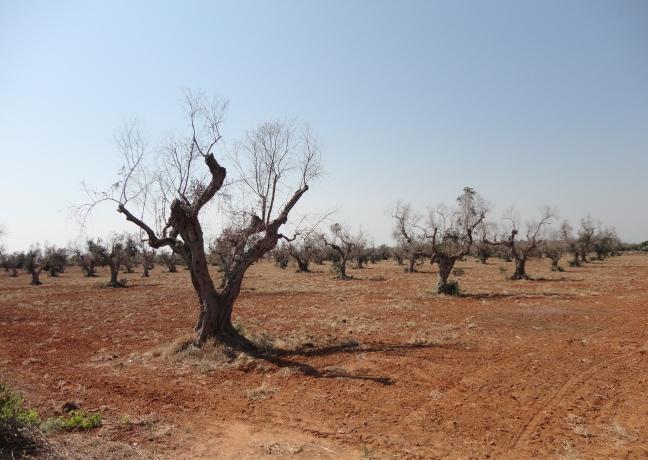 34 olivar en lecce infectado fase 3