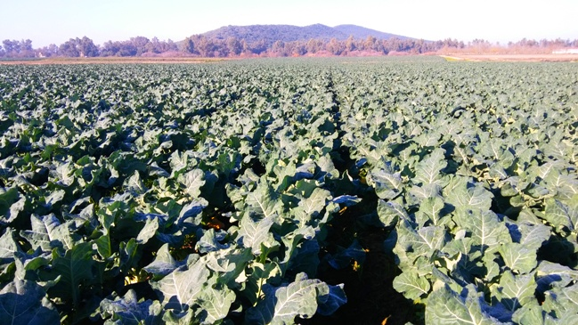 6 cultivo de brocoli
