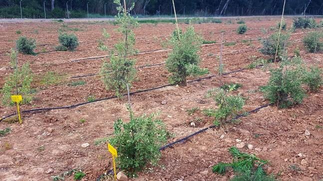 30-31 Plantacion experimental de encinas en El Serranillo