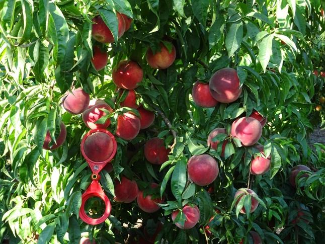 26 fruta
