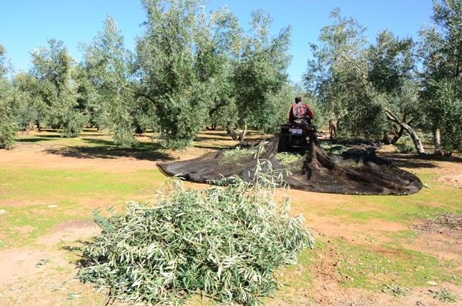 2.- El plan de abonado en olivar es clave para mantener el rendimiento año tras año