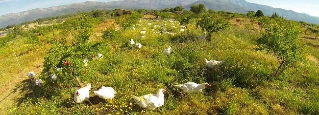 28 graneja pollos