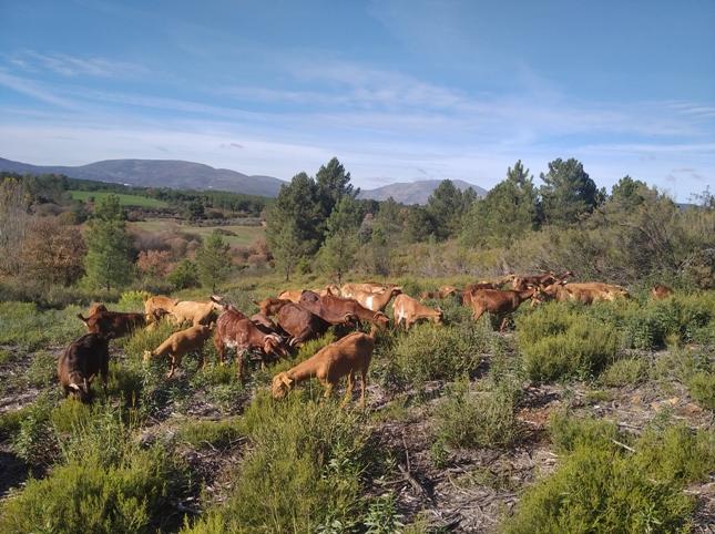 62 cabras jill